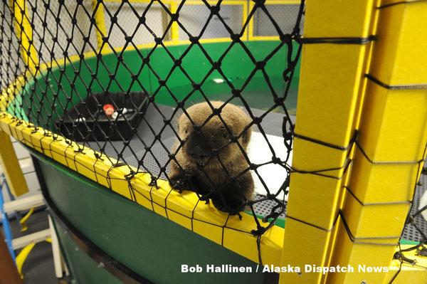 スワードのアラスカシーライフセンターでケアをうけるオスの幼獣 2017年5月4日(Bob Hallinen / Alaska Dispatch News)