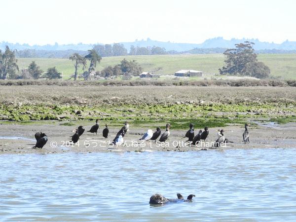 エルクホーン湿地帯のラッコ