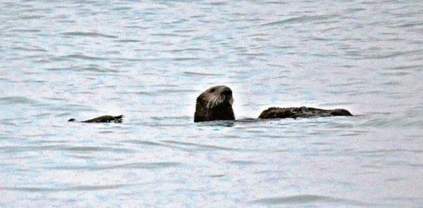 この単独のラッコは月曜の夕方、ノース・ジェッティ沖で死んだウミガラスと一緒にいるところを目撃された。ノース・コースト沖では珍しい光景。ここでラッコが目撃されたのは数年ぶりになる。photo Courtesy of ken burton