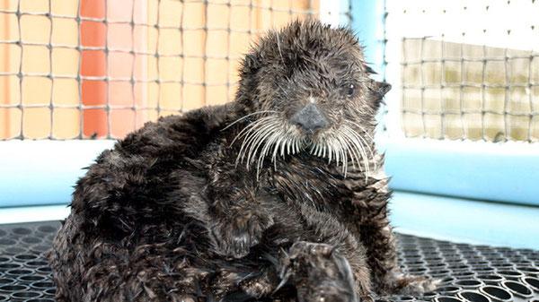 「ラッコのオリーブ」は2009年に救出され、カリフォルニア州魚類野生生物局で回復した