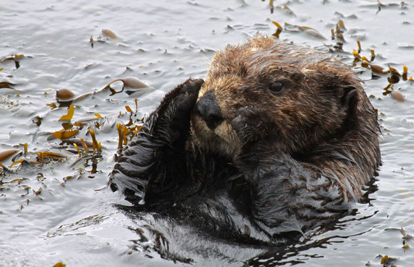 This southern sea otter is settling down to rest in a small patch of Egregia (feather boa kelp).