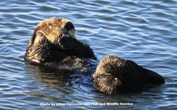 ラッコは体温を維持するためグルーミングをします。Photo by Lilian Carswell, U.S. Fish and Wildlife Service.