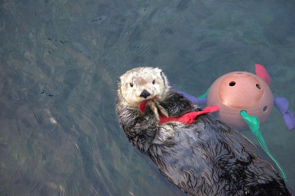今回の輸血の提供者となったエルフィン (photo:Vancouver Aquarium)
