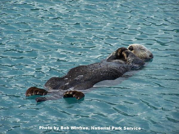 仰向けになって寝息を立てるラッコ。後ろ脚としっぽ、足ヒレが見えますが、これらのおかげでラッコは泳ぎが得意なのです。Photo by Bob Winfree, National Park Service.