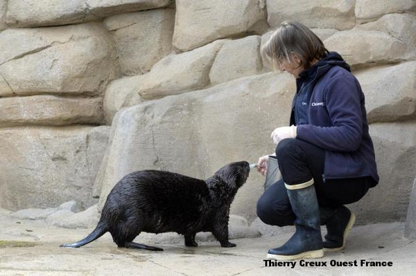 3頭のラッコたちを満足させるため、オセアノポリ水族館の飼育員は1日に6度給餌をおこなう。 | Thierry Creux Ouest France