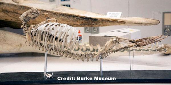 バーク博物館哺乳類額コレクションにある再構成されたラッコの骨格Credit: Burke Museum