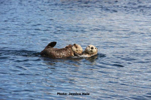 オリンピック国立海洋保護区の母親ラッコと子どもPhoto: Jessica Hale