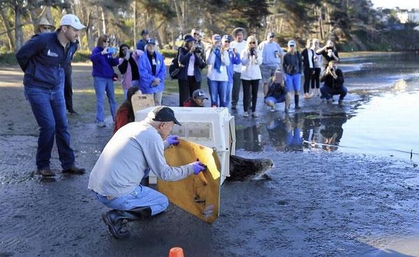 海洋哺乳類センターはサウサリートでの3か月のリハビリの後、2017年9月22日、ラッコのオットーをモロ湾にリリースした。ショーン ジョンソン博士(左)、スタッフアシスタントのアリア・メザ(後)ボランティアのジム・メントゲン(中央)、サンルイスオビスポ郡オペレーションマネージャー、ダイアン・クレーマー(後ろ)らがオットーが慎重にケージから出てきたところを見守っている 写真Laura Dickinson