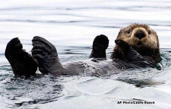カチェマック湾のラッコ AP Photo/Laura Rauch