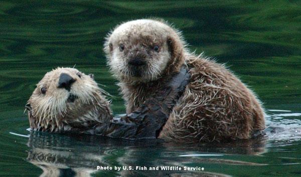 母親ラッコが子どもを連れている。 Photo by U.S. Fish and Wildlife Service.