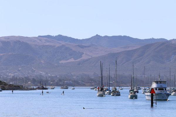 8歳のカリフォルニアラッコ、オットーはリリース後モロ湾にあらわれている。オットーはカリフォルニア州サウサリートの海洋哺乳類センターで治療を受け、座礁していた場所へリリースされた。2016年5月現在、カリフォルニアラッコの生息域はは北はハーフムーン湾南部から南はコンセプション岬の南東部までに広がっているが、これは歴史的な生息域からみればごく一部に過ぎない。Credit Brian MacElvaine © The Marine Mammal Center, USFWS permit #MA101713-1