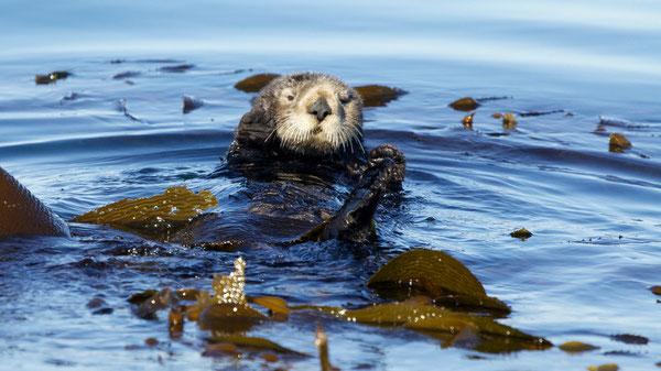 ケルプに包まって浮いているラッコ。モントレー湾で。IMAGE: AP PHOTO/KEITH A. ELLENBOGEN/ASSOCIATED PRESS
