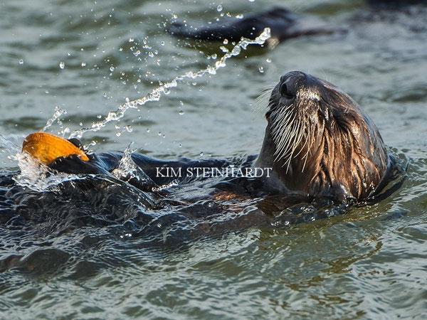 モントレー湾でエサを食べるラッコ