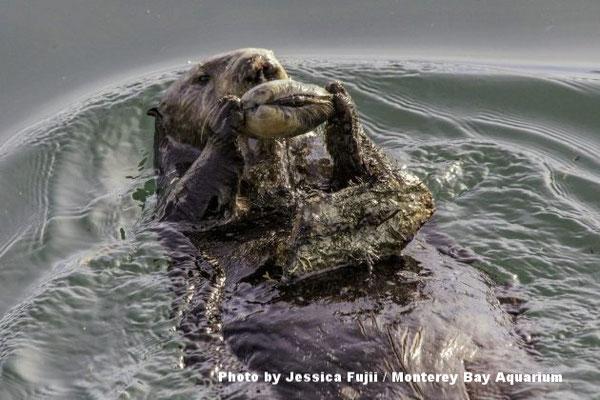 ラッコが腹の上でバランスをとった石に貝をぶつけて開けている