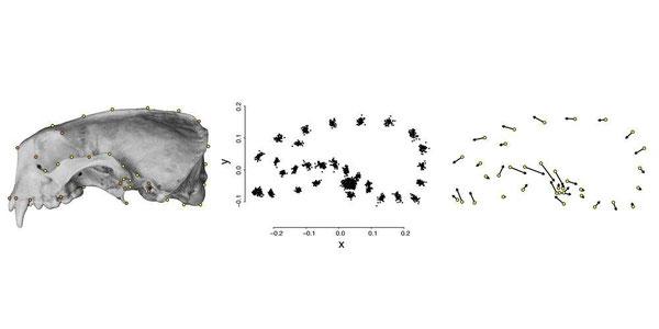 ランドマークはXY座標に変換され、ラッコの頭蓋骨間の形の違いを測定し、可視化するために分析される。Credit: Kristin Campbell ※クリックで拡大