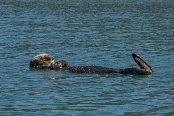 カチェマック湾のサディー・コーヴで昼寝をするラッコ。ラッコが通常より高い比率で死んでいる。(Jimmy McAllan)