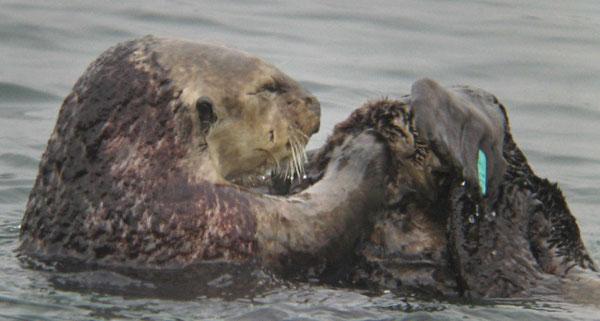 このメスのラッコはカリフォルニア州モロ湾に住んでいる。背中に紅藻類が生えている。この藻類は侵入生物種と思われるが、このメスのラッコや他のラッコに害を及ぼしてはいないようだ。Photo by BRIAN HATFIELD