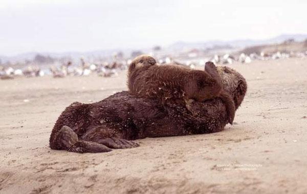 子どもの毛づくろいをする母親ラッコ。モス・ランディングの北ハーバーエリアにて撮影。5月にかけて出産シーズンとなりその間数十頭のラッコやアザラシの赤ちゃんを見ることができる。Photo courtesy of Giancarlo Thomae
