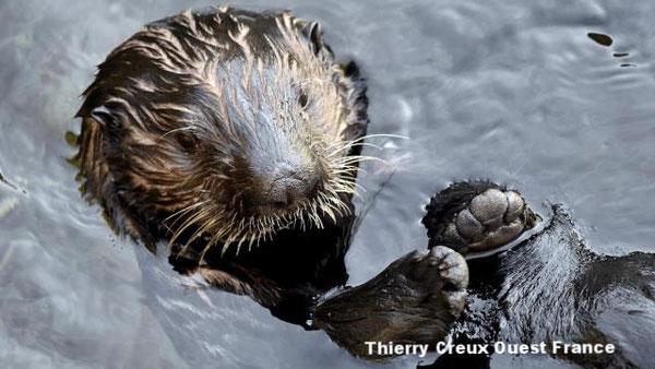 昨年オセアノポリス水族館に到着した3頭のラッコたちは新しい環境によく順応している。 | Thierry Creux Ouest France