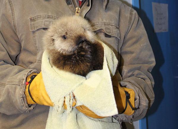 保護されたラッコがアラスカシーライフセンターへケアのため連れてこられました。 Photo by U.S. Fish and Wildlife Service.
