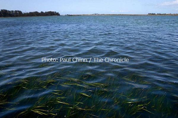 エルクホーン湿地帯の水面から見えるアマモ。ラッコが個体数を増やすことで、湿地帯でアマモの再生が成功したサインだ。