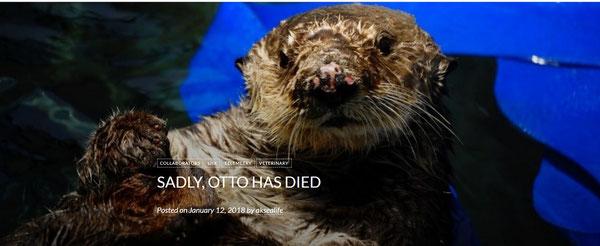 カリフォルニア州サウサリートの海洋哺乳類センターでのリハビリテーションの間、水槽で休む8歳のカリフォルニアラッコ、オットー。このオスのラッコはカリフォルニア州モロベイにある海洋哺乳類センターサンルイスオビスポオペレーションの訓練を受けた対応スタッフににより保護された。Photo Credit Dana Angus © The Marine Mammal Center.