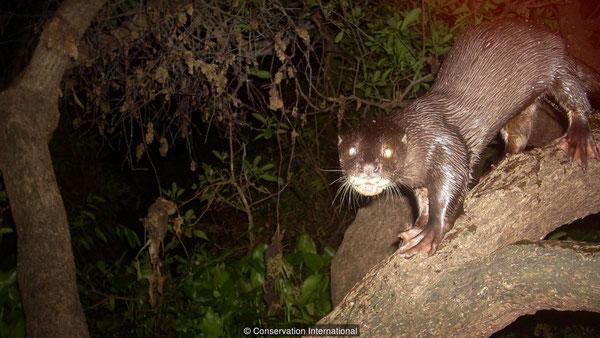 スマトラカワウソはユーラシアカワウソと比べて鼻の穴の周りの毛が特徴的(credit: Conservation International)