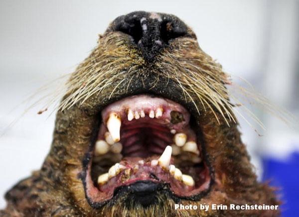 ラッコの歯科医は1週間留守にしなければならなった。この高齢のオスのラッコは、歯感染症が死因のようだったPhoto by Erin Rechsteiner