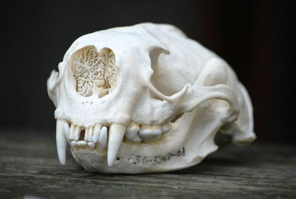 カリフォルニア州アニョヌエボ州立公園のラッコの頭蓋骨Photo by Brian Switek.