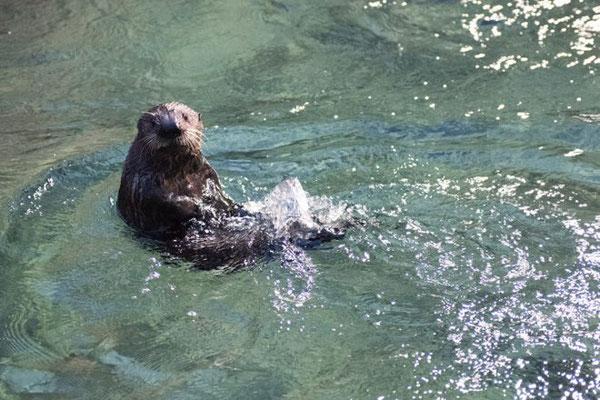 バンクーバー水族館の水槽ではじめて泳ぐ Photo:Vancouver Aquarium