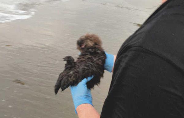 海洋哺乳類センターのボランティアが、鳴く赤ちゃんラッコを抱えて波打ち際を歩き、母親を探す BUD HELM — Marine Mammal Center