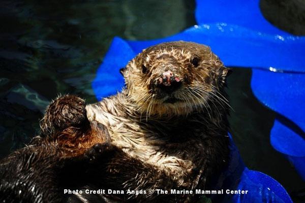8歳のカリフォルニアラッコ、オットーがカリフォルニア州サウサリートの海洋哺乳類センターでリハビリ中に水槽に浮かんで休んでいるところ。このオスのラッコはカリフォルニア州モロベイにあるセンターのサンルイスオビスポ郡オペレーションの訓練をうけた対応チームに保護された。オットーの脳のMRIは、記憶や方向の働きを司る海馬が収縮していることを示していた。これは、ドウモイ酸に侵された動物たち一般にみられる症状だ。Photo Credit Dana Angus © The Marine Mammal Center.