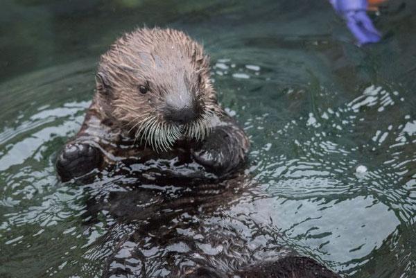 リアルトは大人のラッコ同様、ほとんどの時間を水の中で過ごしている。Photo:Vancouver Aquarium