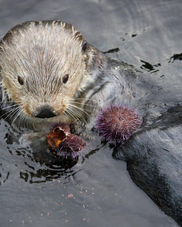 ラッコはトゲの多いウニの殻を開けるのに石を使う。Photograph: Noel Hendrickson/Getty Images