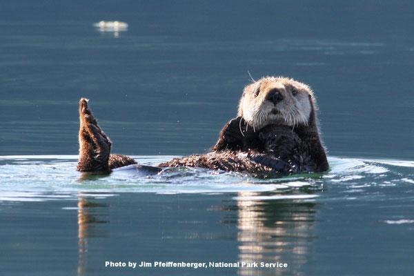 アラスカ週キーナイフィヨルド国立公園の海に浮かぶラッコPhoto by Jim Pfeiffenberger, National Park Service.