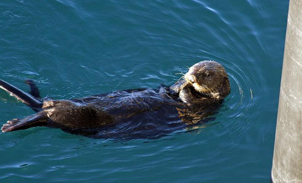 Sea otter. (Associated Press)