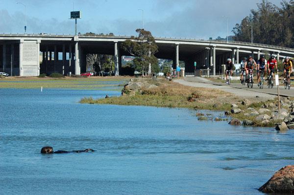 サウサリート~ミルバリートレイルのサイクリストたちの脇を泳ぐラッコ(Photo by youtube user NorthwesternPacificHistoryIsCool)