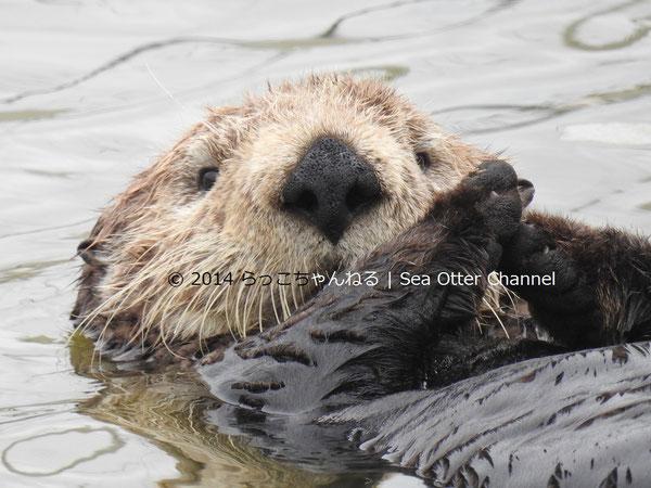 ラッコ百科 All About Sea Otters らっこちゃんねる Sea Otter