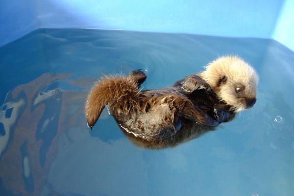 泡をじっと見るラッコの赤ちゃん(Photo: Vancouver Aquarium)