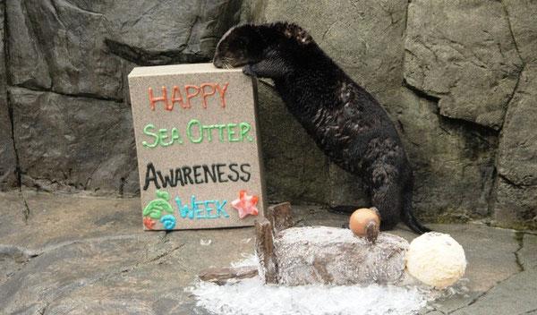 バンクーバー水族館でラッコ啓蒙週間をお祝しよう。9月19日から27日まで開催。