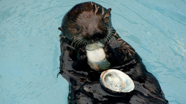 カリフォルニア州魚類野生生物局の原油流出予防対策室でアワビを食べるオリーブ