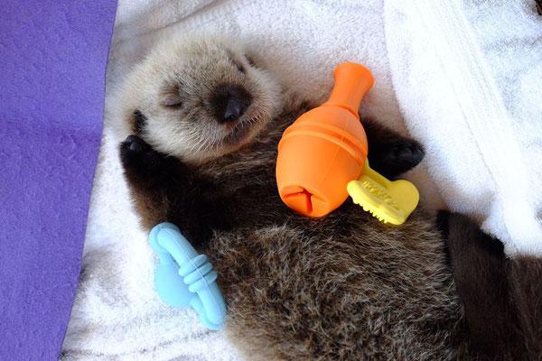 ラッコの赤ちゃんはみなおもちゃのヘアドライヤーを持たなければならないようだ(Photo: Vancouver Aquarium)