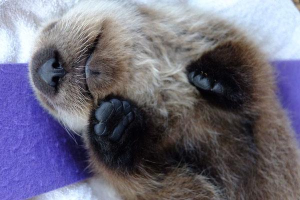 小さな鼻と足の肉球、どちらがかわいい?(Photo: Vancouver Aquarium)