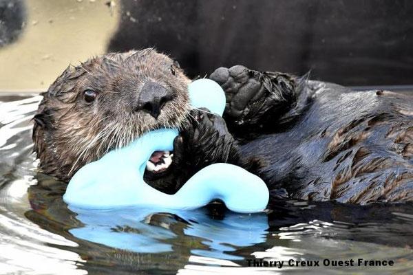 ラッコは海洋哺乳類の中で唯一手を使う動物だ。おもちゃをつかむのに便利だ。 | Thierry Creux Ouest France