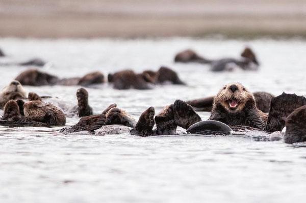 カリフォルニアのピスモビーチからハーフムーンベイにかけて、若いホホジロザメが何百頭とラッコを襲撃しているが、食べるわけではない。PHOTOGRAPH BY CESARE NALDI, NATIONAL GEOGRAPHIC CREATIVE