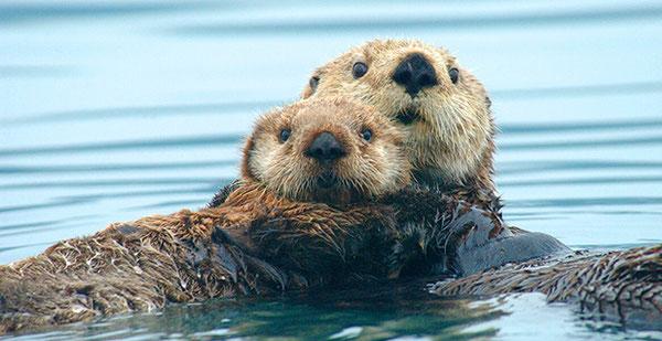 科学者らによるとアラスカラッコは回復してきている。Ryan Wolt/Marine Mammal Commission