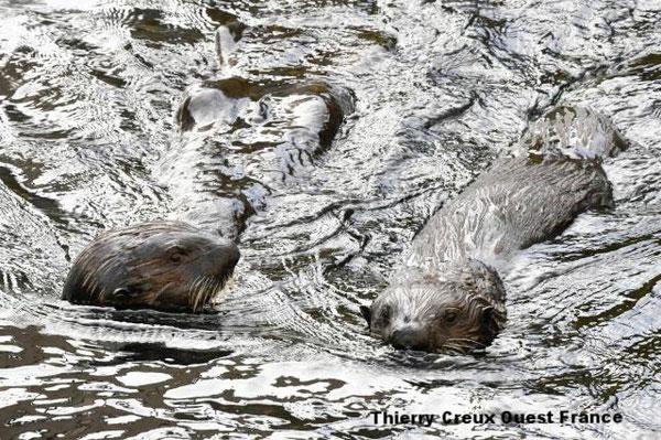 プキク、マチャク、タンギクはそれぞれ1歳半と2歳になる。オセアノポリ水族館には昨年6月と12月にやってきた。| Thierry Creux Ouest France