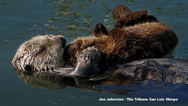 モロ湾で水に浮かぶラッコの母子