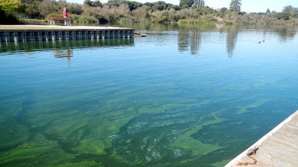 「水の華」が発生したカリフォルニア州ワトソンビルのピント湖。ラッコの生息域の近くにある。( photo from seaotters.com)
