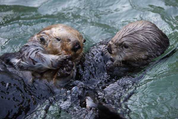 ラッコ水槽で初めて会ったときのウォリーとタヌ